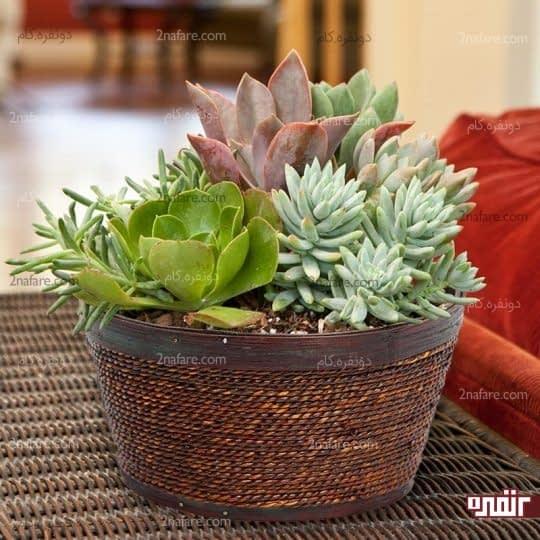گلدان حصیری جذاب برای کاشت کاکتوس ها و استفاده در دکوراسیون داخلی
