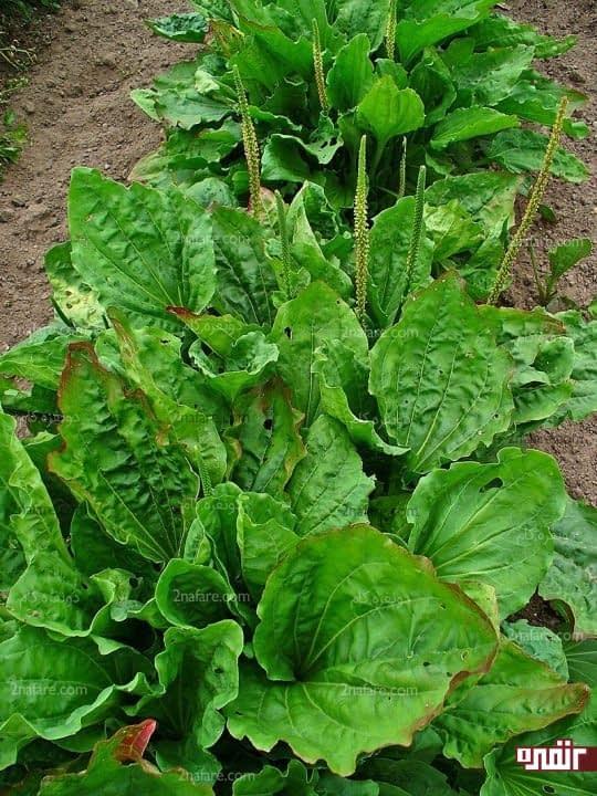 گیاه بارهنگ