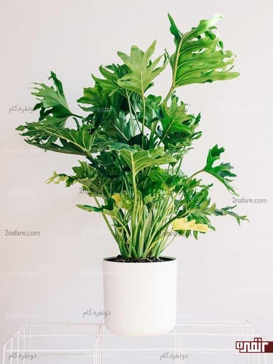 بهترین گیاهان و درختچه ها برای نگهداری در آپارتمان ها