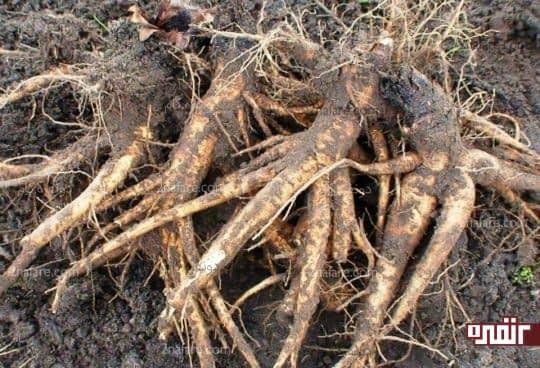 ریشه ریواس دارای خواص ضد میکروبی می باشد