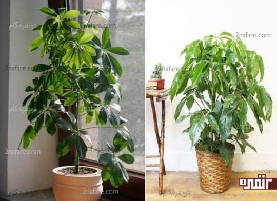 شفلرا درختچه ای محبوب و مقاوم برای نگهداری در آپارتمانها