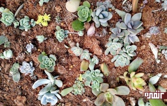 بستر خاکی مناسب را برای رشد ساکولنتها فراهم کنید