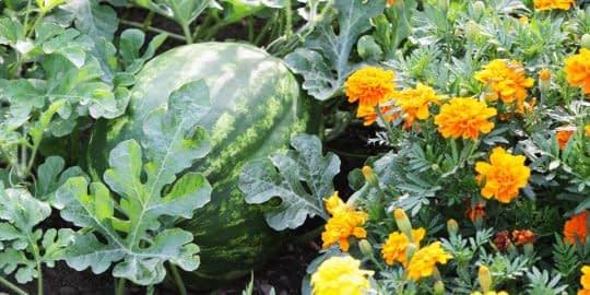 بعضی از گیاهان در کنار هم بهتر رشد میکنن