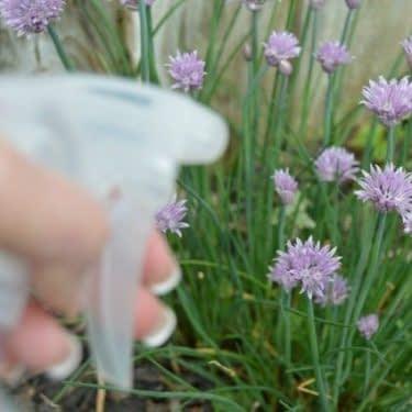 اسپری کردن محلول روی گیاهان
