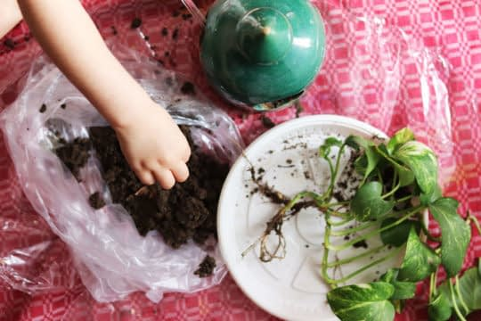 کاشت پیتوس در ظرف دون خوری